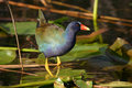 Purple gallinule Stock Images