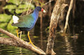 Purple Gallinule Royalty Free Stock Photography