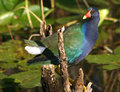 Purple Gallinule Royalty Free Stock Image