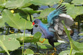 Purple Gallinule - Everglades National Park Stock Images