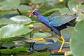 Purple Gallinule - Everglades Ntional Park Stock Photography