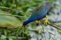 Purple gallinule feeding wacodahatchee wetlands Royalty Free Stock Photos
