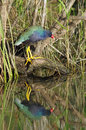 Purple gallinule perching at anhinga trail everglades national park Stock Photography