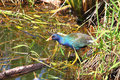 Purple Gallinule (Porphyrio martinica) Royalty Free Stock Image