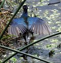 Purple gallinule porphyrio martinica back of a with outstretched wings Royalty Free Stock Image