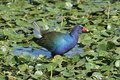 Purple gallinule porphyrio martinica in the florida everglades Royalty Free Stock Photography