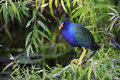 Purple Gallinule (Porphyrula martinica) Royalty Free Stock Photos