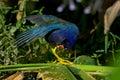 Purple gallinule portrait wacodahatchee wetlands Stock Photography