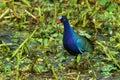Purple gallinule portrait wacodahatchee wetlands Stock Photo
