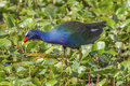 Purple gallinule taken at brazos bend state park Stock Images