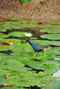 Purple gallinule walks on fireflag leaf Stock Image