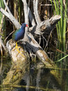 Purple gallinule on wood above water it is at everglades national park florida america。 Royalty Free Stock Photos