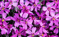 Purple garden flowers. Background Royalty Free Stock Photo