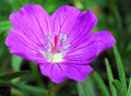 Purple Geranium Flower Stock Photos
