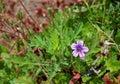 Purple Geranium flower, Marian Bear Memorial Park, Royalty Free Stock Photo