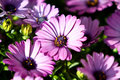 Purple gerbera daisy flowers Royalty Free Stock Image