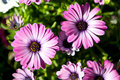 Purple gerbera daisy flowers Royalty Free Stock Photos