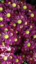 Purple gerbera flower Royalty Free Stock Photo