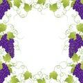 Purple Grape Frame Vine on White Background