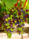 Purple and Green Wine Grapes, California