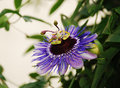 Purple Haze Passiflora Royalty Free Stock Photo