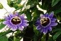 Purple Haze Passifloras Royalty Free Stock Photo