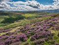 Purple Heather Covered Hillside, Black Meldon Hill Royalty Free Stock Photo