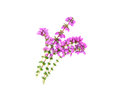 Purple Heather Isolated Stock Image