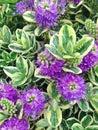 Purple Hebe Addenda Speciosa Flowers