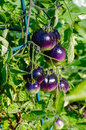 Purple heirloom tomatoes on the vine in a garden Stock Image