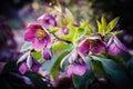 Purple hellebore flower Royalty Free Stock Photo