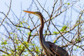 Purple heron bird tree in a thorn for protection above waters Stock Photos