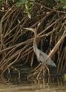 Purple Heron concealed Stock Images