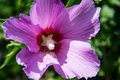 Purple hibiscus flower Royalty Free Stock Photo