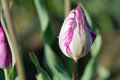 Purple Highlights Tulip