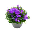 Purple house plant campanula gray pot isolated white background Royalty Free Stock Photos
