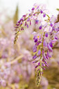 Purple huai clusters of scented Stock Photo