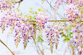 Purple huai clusters of scented Stock Images