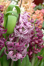 Purple hyacinth Royalty Free Stock Photo