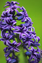 Purple hyacinth Royalty Free Stock Images