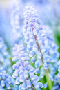 Purple hyacinth flower macro image closeup of a blooming hyacinthus orientalis also known as muscari Royalty Free Stock Images