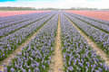 Purple Hyacinthe bulb field Royalty Free Stock Photos