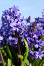 Purple Hyacinths Stock Photos