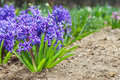 Purple hyacinths in the garden on flower bed Stock Photo