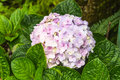 Purple hydrangea flowers in garden Royalty Free Stock Photo