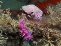 purple invertebrate Royalty Free Stock Photo