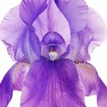 Purple iris Royalty Free Stock Photography