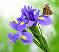 Purple iris flower with butterfly morpho on green background Stock Photos