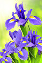 Purple iris flower on green background Stock Photo