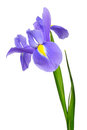 Purple iris flower isolated on white background Royalty Free Stock Photos